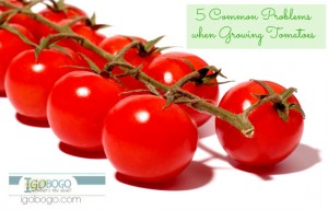 5 Common Problems when Growing Tomatoes