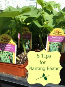 5 Tips for Growing Beans