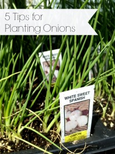 5 Tips for Growing Onions